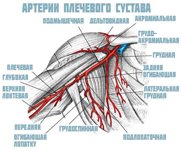 Артерии плечевого сустава