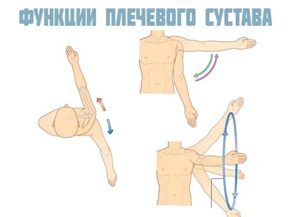 Изображение - Сустав между плечевой костью и лопаткой funkcii-sustava