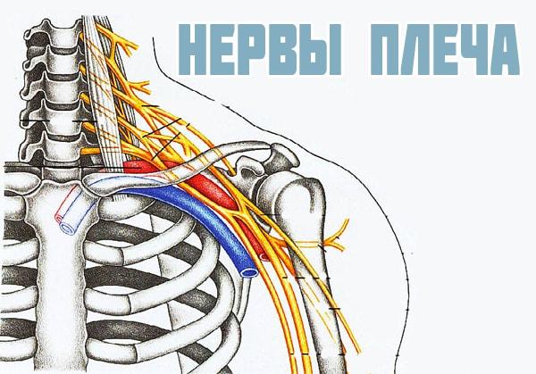 Иннервация плеча