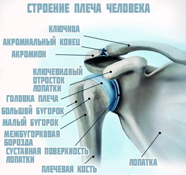 Изображение - Сустав между плечевой костью и лопаткой stroenie-plechevogo-sustava