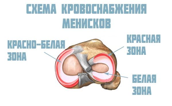 кровоснабжение менисков